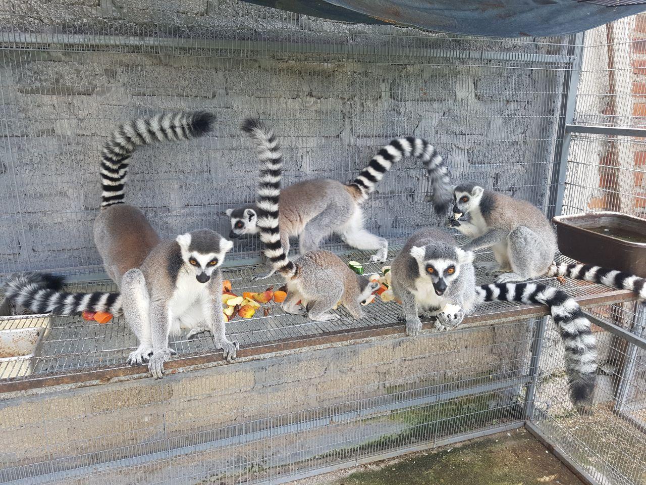 Familia de Lemur Cola Anillada en Nuskê Fauna Exotica